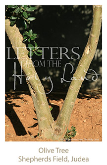 /wp-content/uploads/Letters/LetterOnly/V-04_Olive tree_2019.png